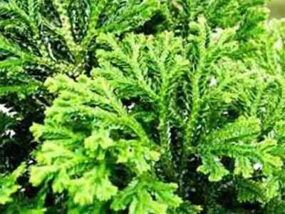 复活草的美容功效 卷柏的功效与作用